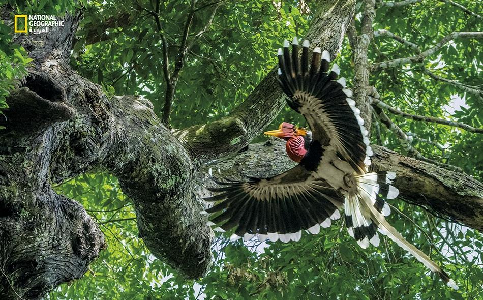 """يستهدف تجار الحيوانات البرية غير القانونيين طائر """"أبو قرن ذو الخوذة""""، ما يهدد بتراجع أعداد هذا الطائر الفريد الذي تعاني موائله، في غابات جنوب شرق آسيا، تقلص مساحاتها."""