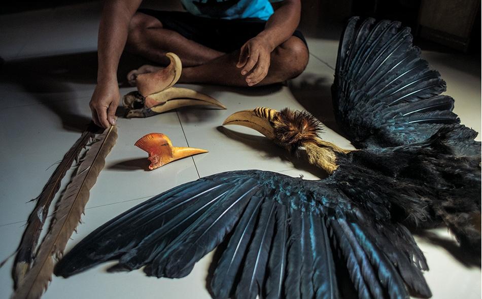 """صياد غير قانوني في بورنيو الإندونيسية يعرض جلد ورأس """"أبو قرن مكلل"""" (يمين)، إلى جانب جمجمة وخوذة تعودان لطائر """"أبو قرن الوحيد"""" (أعلى)، وخوذة وريشتين من ذيل """"أبو قرن ذو الخوذة""""."""