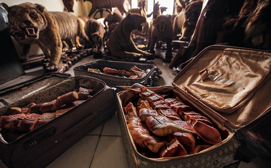 خوذ طيور أبو قرن، ونمور محنطة، ومضبوطات أخرى مهربة لحيوانات برية تملأ مخزناً بمكتب حكومي في العاصمة الإندونيسية جاكرتا.
