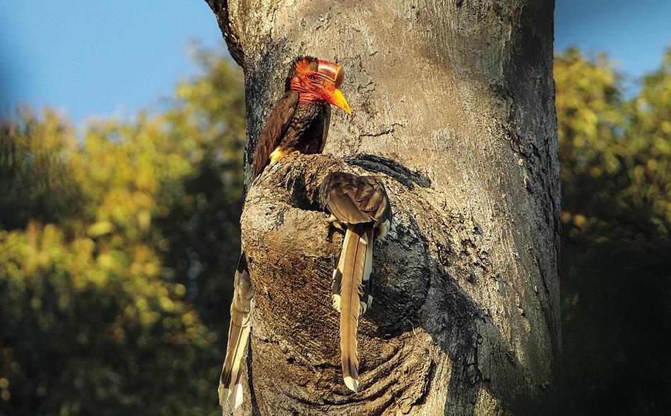 زوج من طيور أبو قرن يتفقد عشا محتملًا على شجرة في بورنيو الإندونيسية. بعدما يتم اختيار العش، تعزل الأنثى نفسها عدة أشهر، فترقد على البيض وتربي فرخها الصغير.