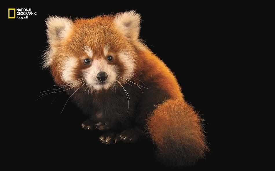 """تُعرف """"الباندا الحمراء""""، واسمها العلمي (Ailurus fulgens) بأسماء أخرى مثل: """"الباندا الأصغر"""" و""""فاير فوكس"""". وهي تعيش في أجزاء من الصين وبوتان والهند وميانمار ونيبال. تتنوع الموائل المفضلة لهذه الدببة بين سفوح الجبال والغابات المعتدلة ومناطق انتشار أشجار..."""