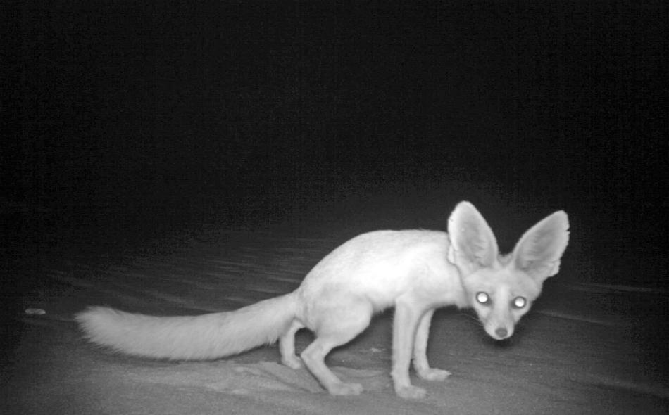 يعيش ثعلب روبل يعيش في الأوكار ويتغذى على الثدييات الصغيرة والزواحف واللافقاريات، وتشير سجلات هيئة البيئة في أبوظبي إلى آخر رؤية مؤكدة لهذا الثعلب عام 2005.
