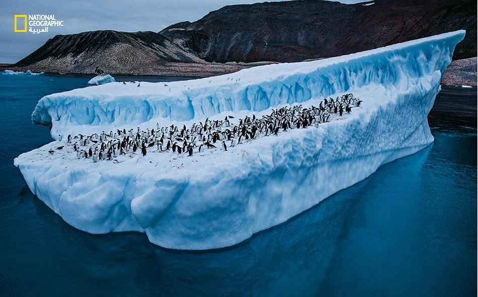 """بطاريق أديلي تنزلق وتتزحلق على الجليد؛ وخلفها، على """"جزيرة بوليه""""، تصطف آلافٌ غيرها على المنحدرات الصخرية المليئة بالذرق. انهارت مستعمرات أديلي على طول الشواطئ الغربية لشبه جزيرة بوليه، بفعل ارتفاع درجة حرارة المياه. Paul Nicklen"""