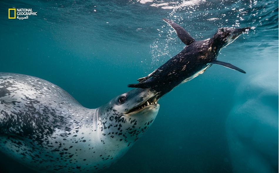"""فقمة نمرية تقضم بطريق أديلي صغير قبل سحبه بعمق وإغراقه بالقرب من """"ممر أنتاركتيكا"""" في الطرف الشمالي لشبه الجزيرة. تزن هذه المفترسات نصف طن، وهي تتخذ من طيور البطريق أحيانا لعبة مسلية إذ تعصف بها على سطح البحر. Paul Nicklen"""