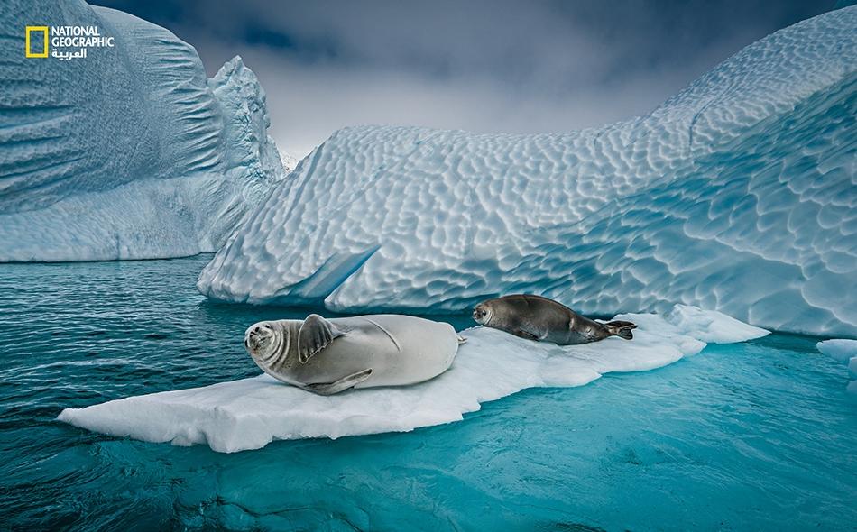 تزحف الفقمات آكلة السلطعون إلى الجليد العائم للقيلولة أو للولادة أو لتختبئ من الحيتان القاتلة أو الفقمات النمرية. (لاحظ الندوب البارزة). مع تناقص كميات الجليد البحري قبالة شبه جزيرة أنتاركتيكا، فإن الجبال الجليدية مثل هذا، والتي تنشق عن الأنهار...