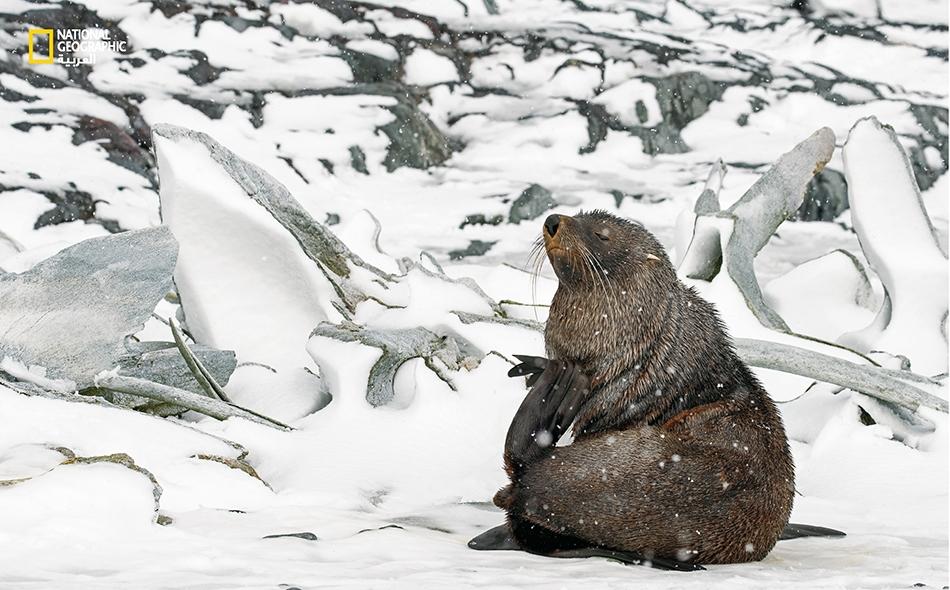 فقمة فراء تستريح بالقرب من كومة عظام حيتان مغطاة بالثلوج. على عكس العديد من أنواع الحيتان، حققت فقمات الفراء انتعاشا ملحوظا بعد أن تم حظر الصيد في أنتاركتيكا. Paul Nicklen