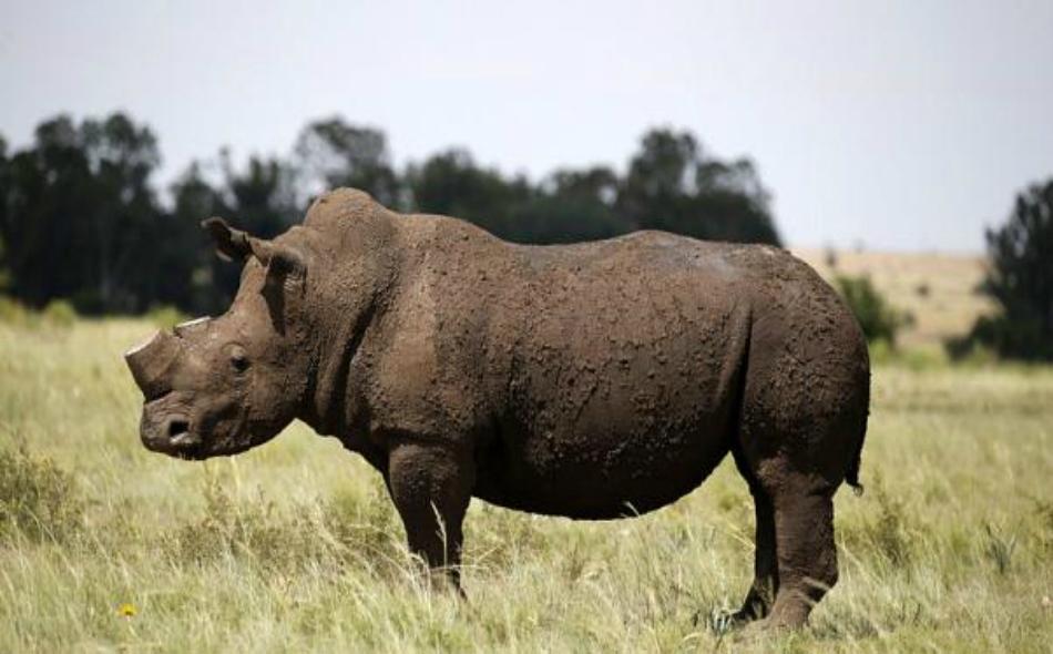 """حيوان وحيد القرن الأسود المهدد بالانقراض في مزرعة خارج كليكسدروب"""" في جنوب غرب جنوب"""" إفريقيا. الصورة من المصدر"""