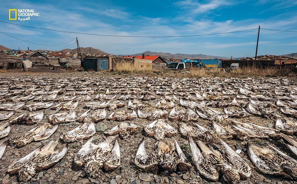 جمع المسؤولون في منغوليا جثث صقور حرة قتلتها خطوط كهرباء غير معزولة. يتعرض نحو 4000 من الطيور الجارحة هناك للصعقات الكهربائية في كل عام. وقد تعهدت دولة الإمارات العربية المتحدة بتقديم 20 مليون دولار من أجل الحفاظ على الطيور الجارحة في منغوليا، وتشمل...