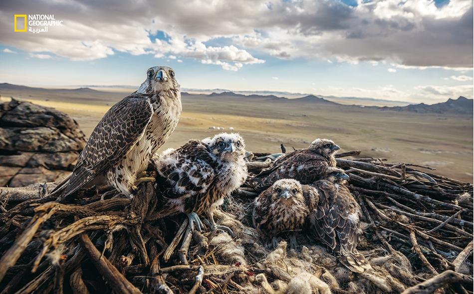 """أنثى صقر حر تحرس فراخها في عشها المطل على السهل المنغولي. يُقال إن """"جنكيز خان"""" كان يمتلك المئات من هذه الصقور لاستخدامها في الصيد. تصنف الصقور الحرة اليوم في قائمة الطيور المهددة بخطر انقراض كبير، بسبب تدمير موائلها الطبيعية والاتجار غير القانوني في..."""