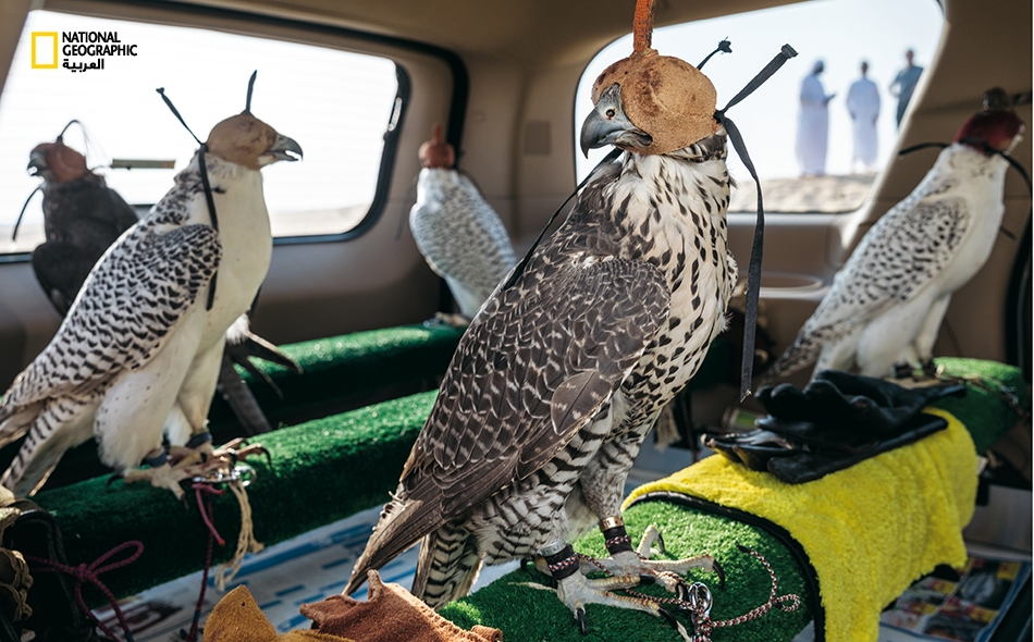 بعد تدريب الصقور في الصحراء، يتم ربطها إلى مجاثم داخل السيارة للعودة إلى دبي. تتمتع هذه الطيور ببصر حاد حتى إن أخف حركة أو تغير في الضوء يمكن أن يثيرها؛ ولذا فإن حجب أبصارها بالبرقع -تقنية طورها العرب القدماء- تُبقي عليها هادئة.
