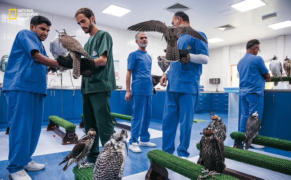 """يعالج الأطباء البيطريون ومساعدوهم في """"مستشفى أبوظبي للصقور"""" نحو 11 ألف طائر سنوياً، ما يجعل منه أكبر مستشفى للطيور في العالم. يأتي مربو الصقور بطيورهم إلى هنا لكل شيء، من الفحص الشامل إلى علاج الأجنحة المكسورة."""