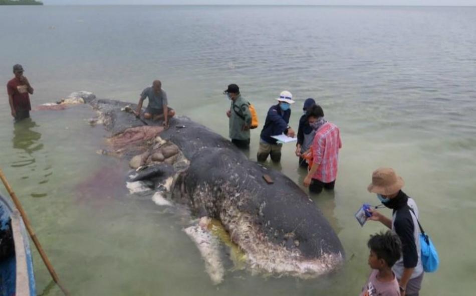 لم يتبين سبب نفوق الحوت إلى الآن، ولكن مسؤولي المنتزه عثروا على زجاجات وأكياس وأحذية من البلاستيك وحقيبة بها أكثر من ألف قطعة خيط في معدة الحوت. الصورة من المصدر