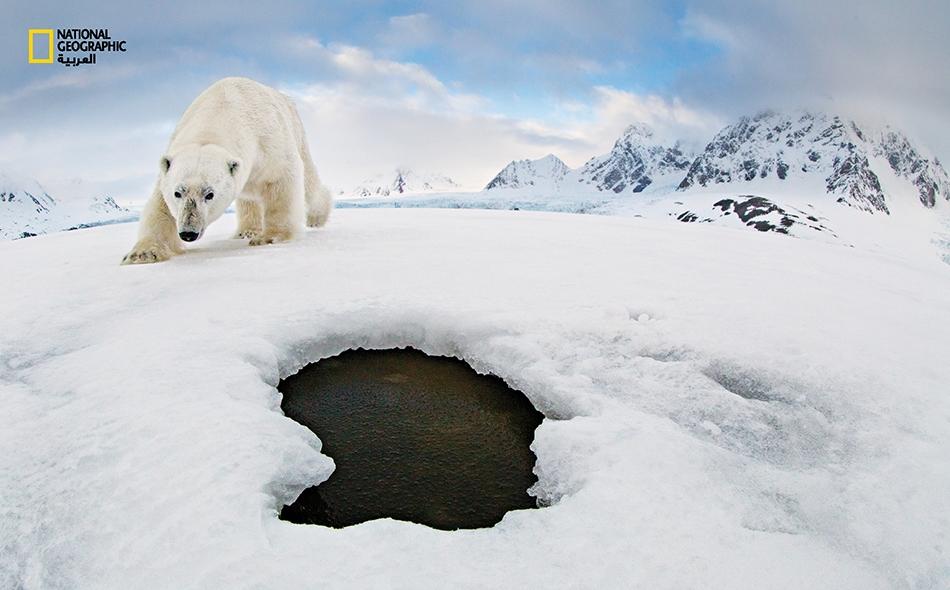 """وضع المُصَور """"أودون ريكاردسن"""" كاميرا آلية إلى جانب فوهة تنفسٍّ في منطقة قطبية، أملاً بالتقاط صورة متكاملة لفقمة. لكن دبا قطبيا ظهر.. وأصَرَّ على التحقق من الأمر."""