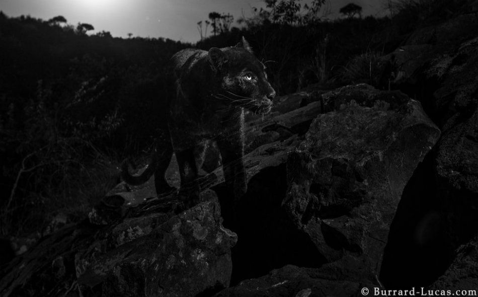 """ثبّت مصور الحياة البرية البريطاني """"ويل بورارد لوكاس"""" كاميرات حساسة للحركة، لالتقاط صور للحيوان الذي ينشط خلال ساعات الليل في """"مخيم لايكيبيا البري""""."""