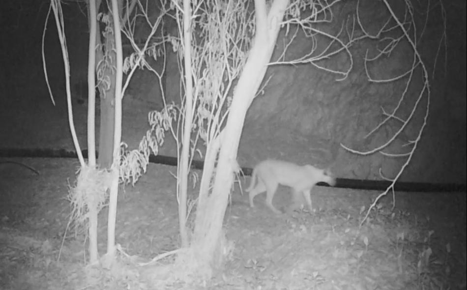 رغم أن الوشق يُعرف بشكل عام بأنه من الحيوانات التي تنشط ليلاً، إلا أن الهيئة تمكنت من الحصول على صور نهارية وليلية لأحد ذكور هذا النوع. الصورة من المصدر
