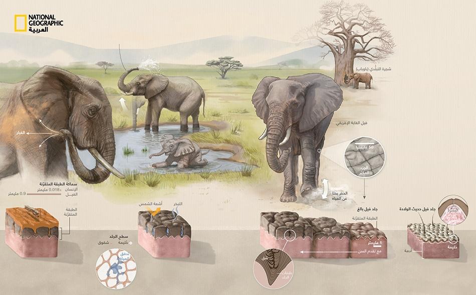 يعيش فيل الأحراش الإفريقي أساساً في السهول العشبية الجافة بشرق إفريقيا، حيث عادة ما تتجاوز الحرارة 30 درجة مئوية.