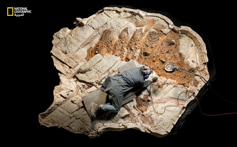"""""""زول كروريفاستاتور"""" الجبّار، ديناصور من العصر الطباشيري اكتُشف مؤخرا، لديه ذيل يشبه المِرزبّة ربما ساعده على صد التيرانوصور."""