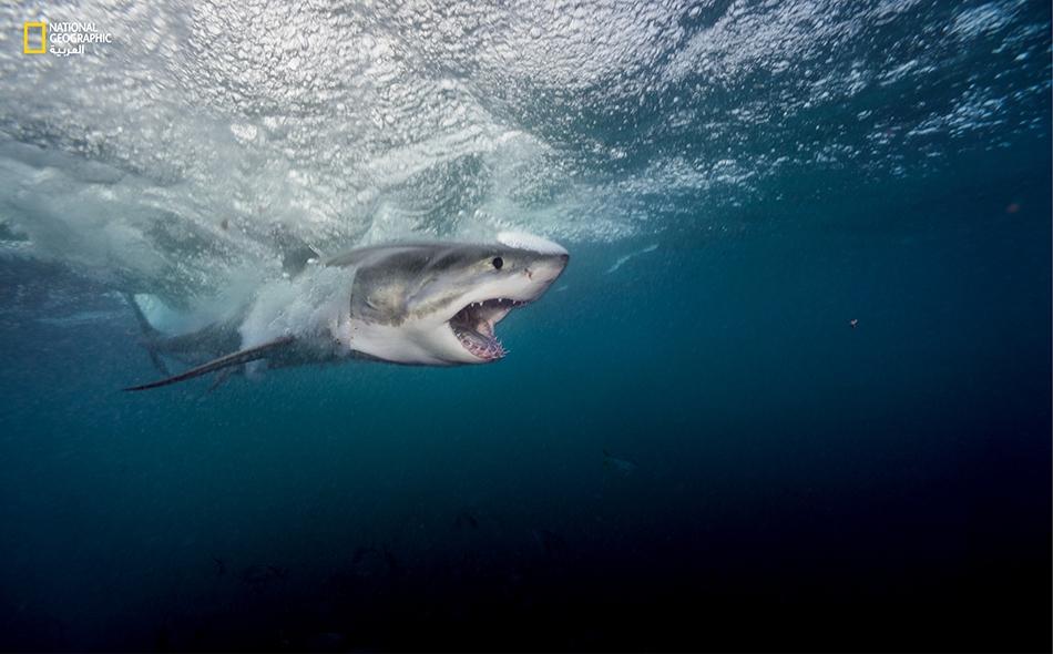 لدى القرش الأبيض الكبير (Carcharodon carcharias) خريطة جينية كبيرة للغاية، إذ تعد أكبر من الجينوم البشري مرة ونصف المرة. الصورة: براين سكيري