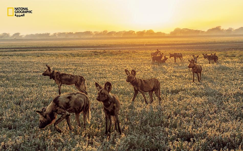 فُقدت الكلاب البرية الإفريقية بالكامل في غورونغوزا خلال الحرب. ومع تكاثر بعض الفرائس بقدر كبير، فإن المنتزه بحاجة إلى حيواناته المفترسة الأصلية. تم جلب هذا القطيع المكوَّن من 14 كلبا بريا من جنوب إفريقيا، وقد أُطلق في المنتزه خلال عام 2018 ليساعد في...