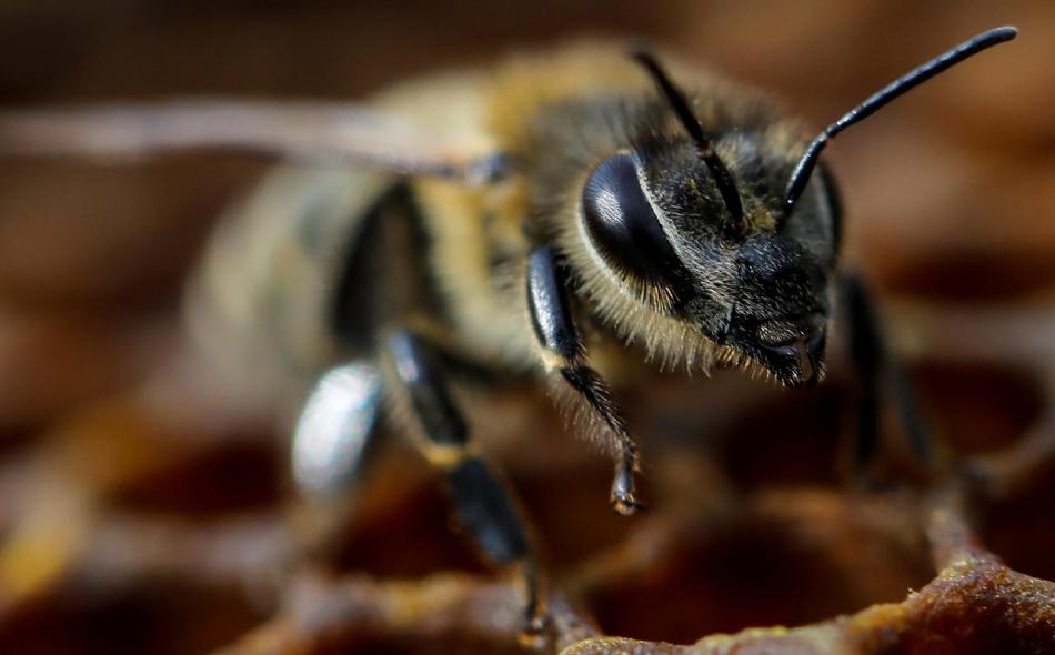 منذ عام 2006 شهد نحل العسل وغيره من الملقحات في جميع أنحاء العالم انخفاضا سريعا في أعداده، جراء عدة عوامل من بينها الاستخدام المفرط للمواد الكيميائية. الصورة: REUTERS/Marko Djurica