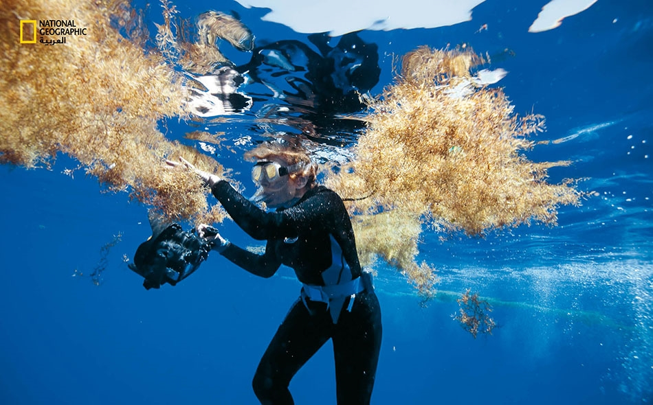 """تفحص """"سيلفيا إيرل"""" كتل سرجس قبالة جزيرة """"برمودا"""" خلال رحلة استكشافية عام 2010، في إطار مبادرتها المسمَّاة """"بعثة الأزرق"""" (Mission Blue) الهادفة إلى استكشاف المحيطات وحمايتها."""