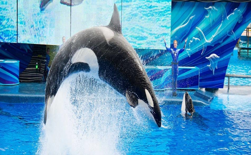 """أصدرت جمعية """"People for the Ethical Treatment of Animals"""" تقريرا يوثق الضرر البدني والسلوكي الذي تعاني منه الدلافين جراء استخدامها في العروض الحية والاحتجاز في الأسر لدى منتزه """"سي وورلد"""" المائي. الصورة: Seaworld."""