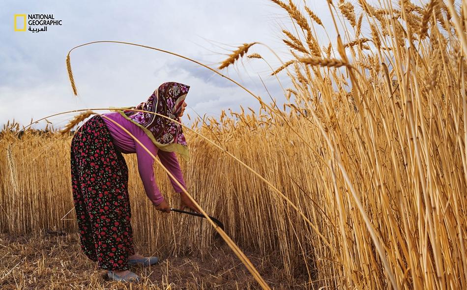"""امرأة تحصد بيديها الحنطة قرب مدينة """"قونية"""" في تركيا. جلب المزارعون من الأناضول الزراعةَ إلى أوروبا منذ نحو 9000 عام. وخلال بضعة آلاف من السنين، سيطر المزارعون والرعاة على جل القارة."""
