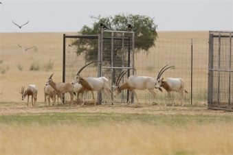 """يصنف المها الإفريقي حاليا على أنه """"منقرض من البرية"""" وفقا لبيانات القائمة الحمراء للأنواع المهددة بالانقراض التابعة لـ """"الاتحاد الدولي لصون الطبيعة""""، ونتيجة لجهود الإكثار التي تبذلها """"هيئة البيئة"""" في أبوظبي، سيساهم هذا في ترقية حالة هذا النوع مستقبلًا...."""