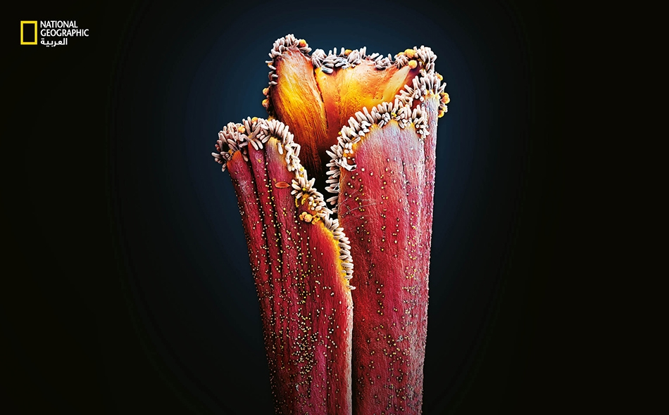 """في ميسم زهرة Crocus sativus، نحو 150 مركّـبا يمنح الزعفران مذاقه اللاذع ورائحته الشبيهة برائحة القش. ويرجَّح أن هذه المركبّات التي تضم """"سَفرانال"""" قد نشأت لجذب الكائنات الملقِّحة."""