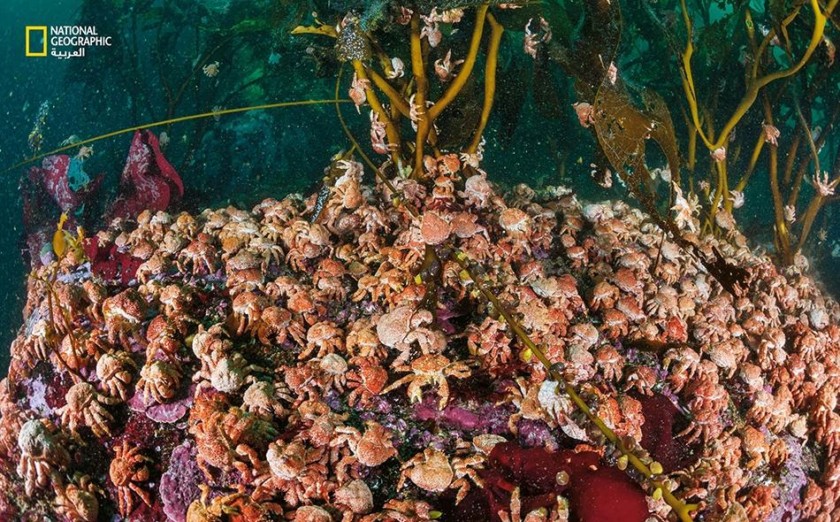 """تحتشد آلاف من صغار """"سرطان البحر الملكي الجنوبي الزائف"""" (Paralomis granulosa) في غابة من أعشاب البحر العملاقة قرب """"كيب هورن"""" في تشيلي. يجمع صيادو المنطقة كميات كبيرة من هذا النوع، لذا من النادر رؤية تجمعات كبيرة بهذا الحجم."""