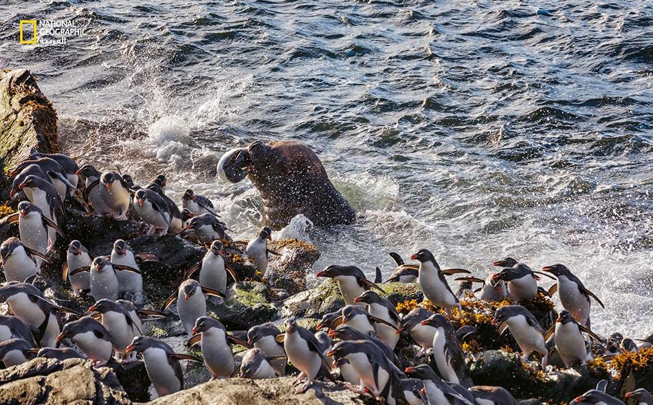 """""""أسدُ بحر جنوبي"""" يقتنص """"بطريقَ نطاط صخر جنوبي"""" (Eudypteschrysocome) وسط أمواج شاطئ جزيرة """"دي لوس إستادوس"""". تجازف مئات البطاريق نطاطة الصخر بالخوض في المياه قرب الشاطئ سعيًا وراء الأسماك. لكن كثرتها لا تنفعها أحيانًا في صد خطر المفترسات."""