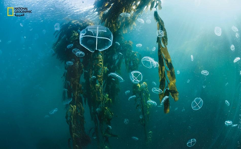 """تطفو قناديل البحر بين أوراق غابة من العشب البحري بمياه جزيرة """"دي لوس إستادوس"""" في الأرجنتين. وتعد أعشاب البحر العملاقة (Macrocystis pyrifera) أكبر أنواع الطحالب المحيطية، إذ تنمو بأطوال تناهز الـ 45 مترًا؛ وتؤوي غاباتها أحد أكثر النُّظم البيئية تنوعًا..."""