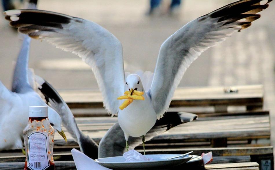 """أظهر بحث من """"جامعة إكستر"""" البريطانية أنه عندما ينظر الإنسان بإمعان لطيور النورس، فإنها تستغرق وقتا أطول بواقع 21 ثانية للاقتراب من كيس الرقائق؛ عما إذا تركت دون مراقبة على ما يبدو. الصورة: karyna d / Getty Images"""