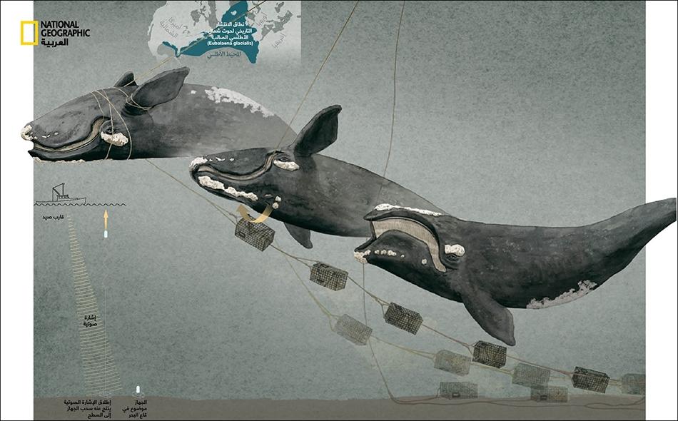 الحيتان الصائبة هي الحيتان الوحيدة التي لها طبقات من الجلد المتصلب، تتخذ شكل رقع مرتفعة من الجلد الخشن. ولكل حوت نمط فريد من هذا الجلد المتصلب، ما يساعد العلماء على تحديد نوعه.
