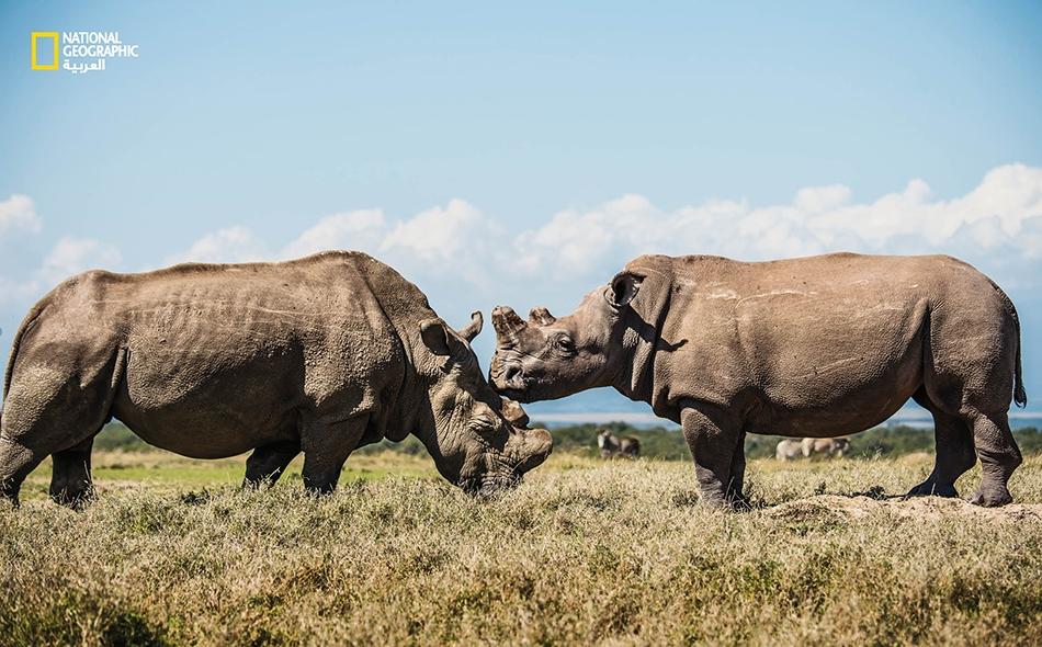 """يتجول """"سودان"""" (إلى اليسار) في """"محمية أول بيجيتا"""" الكينية برفقة حفيدته """"فاتو""""، وهي إحدى الأُنثيين الأخيرتين المتبقيتين في العالم من نوع الكركدن """"الأبيض الشمالي""""."""