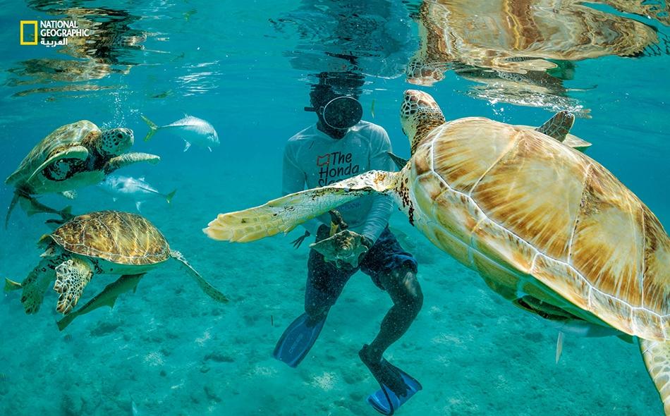 """صياد محار يثير انتباه سرب من السلاحف الخضراء في مياه جزيرة """"ليتل فارمرز كاي الرملية"""" في الباهاماس. في ما مضى كانت هذه السلاحف ذات قيمة كبيرة بوصفها مصدرَ غذاء مهم هنا، واليوم أصبحت أهميتها تكمن في كونها مصدر جذب سياحي."""
