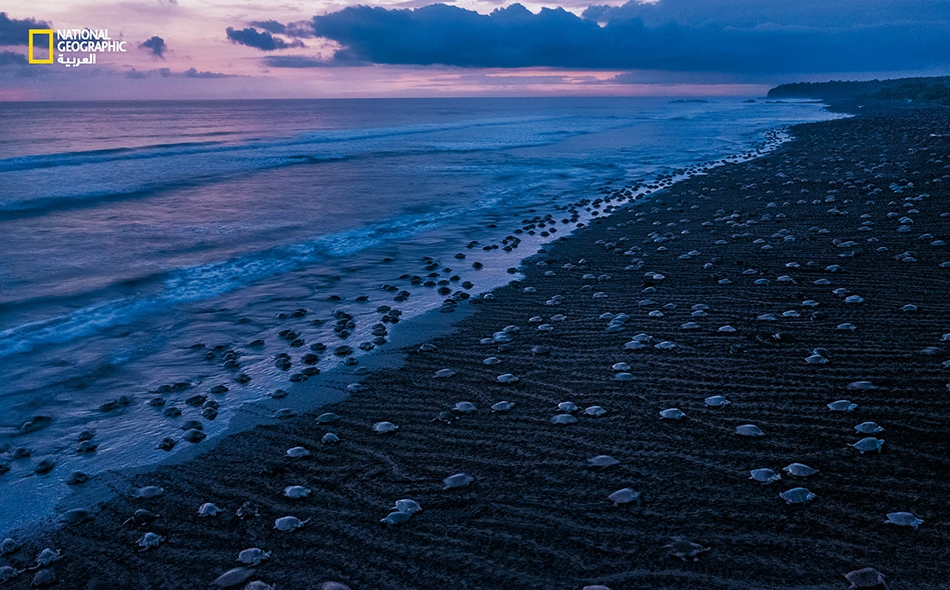 """تشهد شواطئ كوستاريكا خلال فصل الشتاء، مرة أو مرتين كل شهر، وصول عشراتِ الآلاف من إناث سلاحف """"ريدلي الزيتونية"""" لتضع بيضها، في حدث مميز يُعرف باسم """"أريبادا"""" (ومعناها الوصول، بالإسبانية). يفقس البيض بعد 45 يوما تقريبا."""