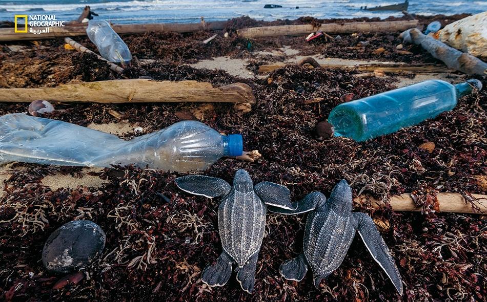 """تعترض قنيناتُ البلاستيك ونفايات أخرى أفراخَ السلاحف جلدية الظهر في طريقها من رمال شاطئ """"ماتيرا"""" في ترينيداد إلى مياه المحيط. ينظم أفراد منظمة """"نيتشر سيكرز"""" (Nature Seekers)، وهي هيئة محلية لحماية البيئة، حملات دورية لتنظيف الشاطئ ساهمت في انتعاش..."""
