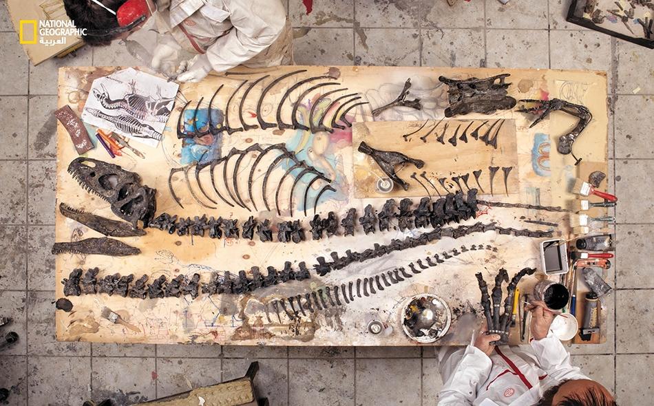 """عاملان في شركة """"زويك"""" المتخصصة في ترميم الحفريات بمدينة """"ترييستي"""" الإيطالية، يعيدان تجميع """"ألوصور"""" اكُتشف في ولاية وايومينغ. وقد بيعت هذه العينة في وقت لاحق بأحد المزادات في باريس بمبلغ 1.4 مليون دولار."""