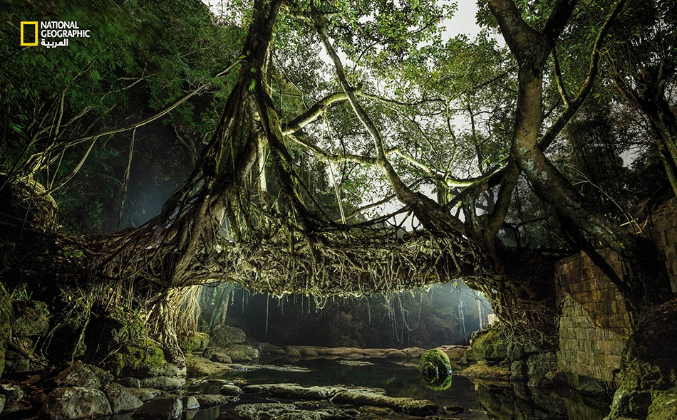في شمال شرق الهند، تتسبب الأمطار الغزيرة في تآكل البنى التحتية؛ فيضطر أهالي القرى لابتكار جسور على طريقتهم الخاصة.. من الأشجار الحيّة.