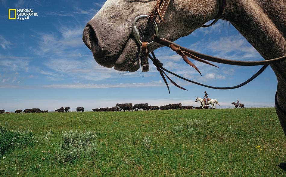 """""""جستس ويرك"""" (ممتطيةً الحصان الأبيض) و""""كاسي بيريس"""" يسوقان البقر في مربى """"ويرك"""" للماشية الواقع ضمن """"محميّة فورت بيلكناب للسكّان الأصليين"""". تقع أرض القبائل الأصلية هذه إلى جوار """"محمية البراري الأميركية"""" (إيه. بي. آر.)، وهي مشروع لحفظ الطبيعة يهدف إلى..."""