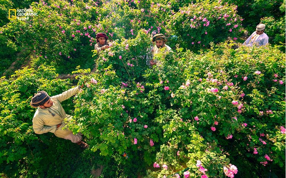 """يقوم """"عبد الله الريامي"""" (الظاهر إلى اليمين) وأبناؤه بقطف الورد منذ ساعات الصباح الأولى، وهي مَهمة تنتهي مع لحظات غروب الشمس وتتخللها فترات استراحة؛ على أن يعودوا إلى العمل في اليوم التالي."""
