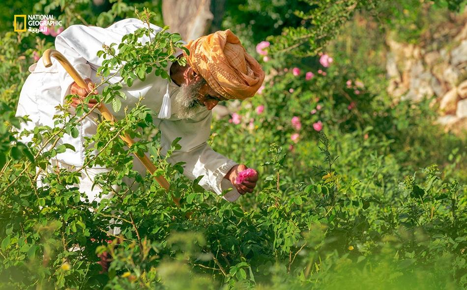 """ينكب """"علي الريامي"""" على معاينة الورد والتأكد من تفتحه قبل الشروع بالقطف، داخل مزرعته بمنطقة """"العين""""."""