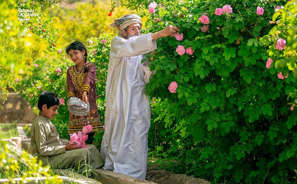 """دائمًا ما يحرص """"ياسر التوبي"""" على أخذ أحفاده معه إلى مزرعته الواقعة بمنطقة """"سيق"""" لإشراكهم في عملية قطف الورد الجبلي؛ ما يضمن انتقال هذه الحرفة من جيل إلى جيل."""
