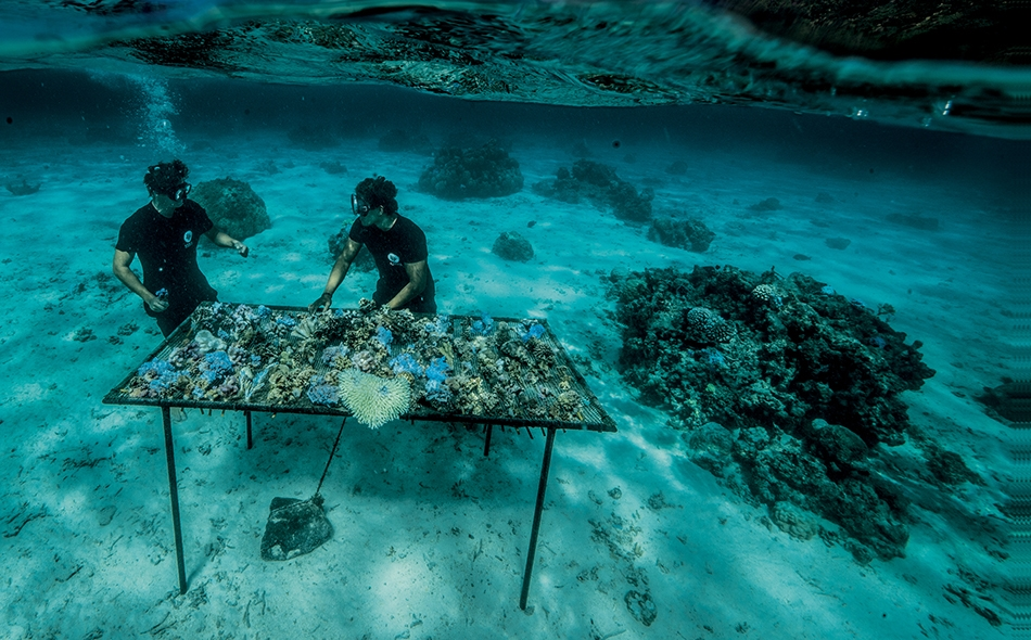 """بجزيرة """"موريا"""" في بولينيزيا الفرنسية، تقوم منظمة """"كورال غاردنرز"""" (بستانيو المرجان) غير الربحية بزراعة قِطع الشعاب المرجانية المكسورة على منضدة استزراع مدة شهر قبل إعادة ربطها بالشعاب المرجانية. ويمكن للمسافرين في هذه المواقع التبرع من أجل """"تبنّي"""" قطعة..."""