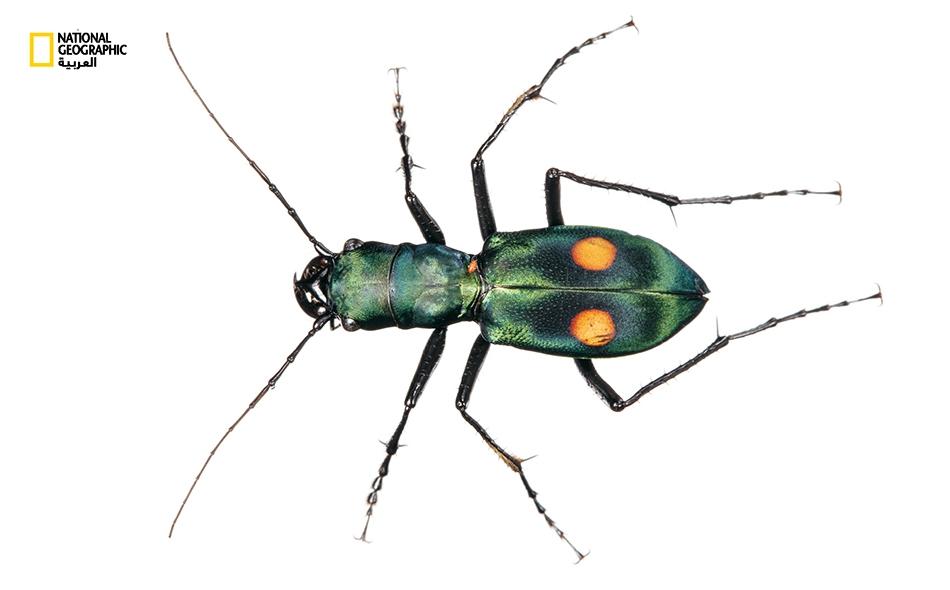 """تعيش أنواع متعددة من الخنافس """"النمرية"""" في مرتفعات الإكوادور (وأكثر من 350 ألف نوع معروف من الخنافس في جميع أنحاء العالم). وربما يقتات هذا النوع على حشرات أخرى في أرضية الغابة."""
