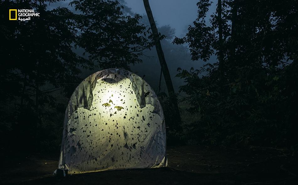 ملاءة مضاءة من الخلف تجذب عددًا كبيرًا من الحشرات التي تطير بالليل في محطة ميدانية بمنطقة الأمازون الإكوادورية. وفي المواقع غير البعيدة، تُظهر مصائد الضوء، على غرار زجاج السيارات الأمامي، تناقصًا حادا في أعداد الحشرات. فالتغير المناخي، وفقدان الموائل،...