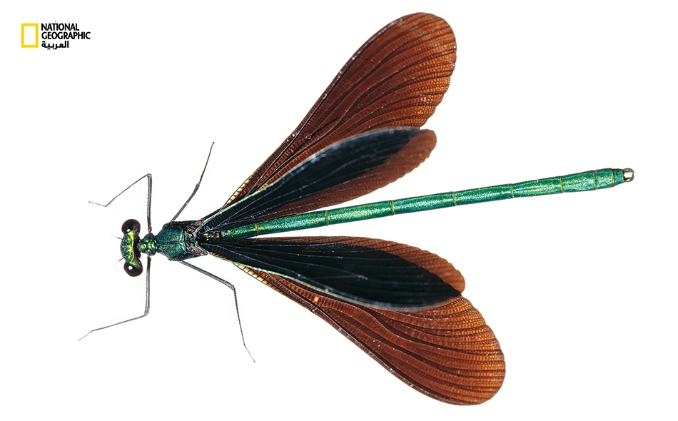"""تعيش الرعاشة """"الأبنوسية"""" في الجداول المشجرة في شرق أميركا الشمالية. أُخذت هذه العينة في جبال """"غريت سموكي""""، وتقتات على حشرات كثيرة، منها البعوض، لتشكل بدورها طعامًا للطيور والضفادع. وتنتمي هذه الحشرة إلى """"مقترنات الأجنحة""""، أحد الأنواع المعروفة التي..."""