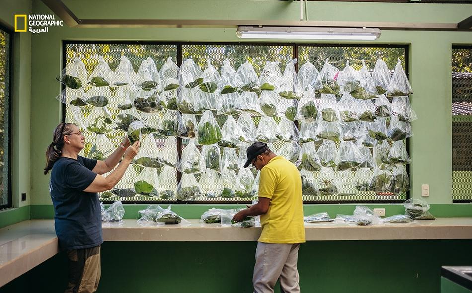 """تؤوي """"حديقة حيوان"""" مشكَّلة من أكياس مملوءة بأوراق الشجر في """"محطة لاسيلفا للأبحاث"""" في كوستاريكا، مئات اليرقات وبيوض الدبابير الطفيلية داخلها. ويسعى الباحثون إلى دراسة هذه الأنواع قبل أن تختفي من الوجود؛ إذ يقول عالم البيئة """"لي داير"""": """"إنه عِلم مستميت""""."""