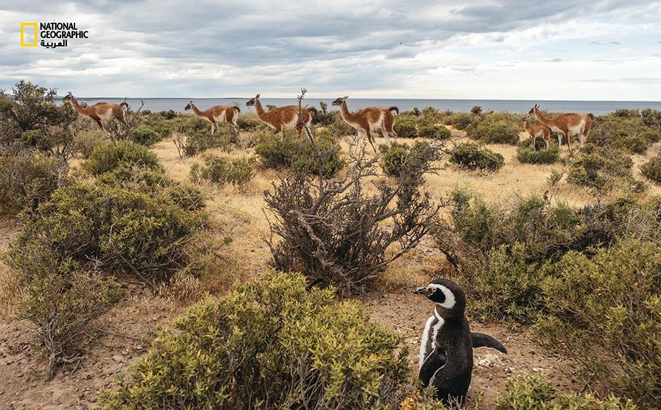 """يبدو بطريق """"ماجلان"""" غير منزعج من حركة قطيع غوناق عابر لدى """"محمية بونتا تومبو"""" على ساحل الأطلسي في الأرجنتين. بدأت """"مؤسسة تومكينز لصون الطبيعة"""" تشتري الأراضي الساحلية جنوب المحمية لتنفيذ مشروع المنتزه البحري، """"باتاغونيا أزول""""."""